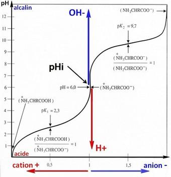 acide aminé équilibre pHi pt