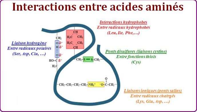 interactions ponts acides aminés