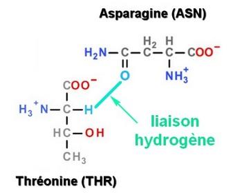 liaison hydrogene ASN THR