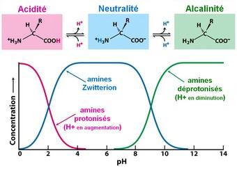 acides aminés zone pH